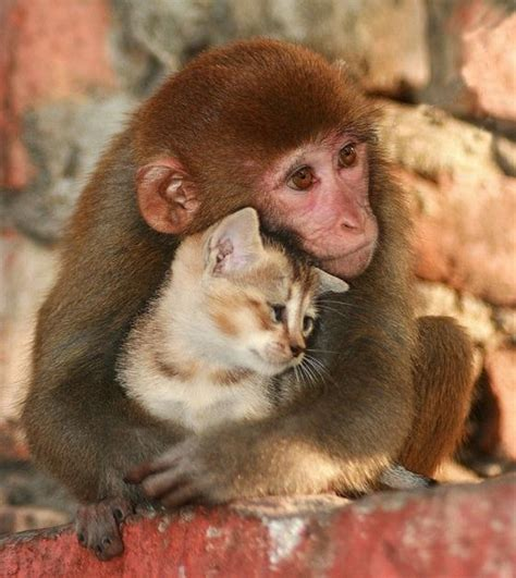 monkey and kitten and monkey animals photos and