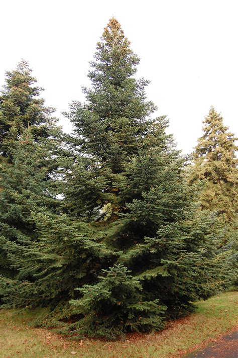Flowering Evergreen Shrubs Full Sun - abies pinsapo landscape architect s pages