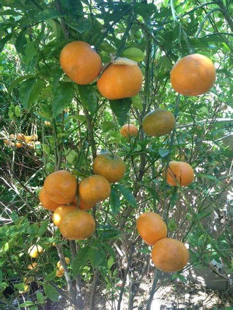 tropical fruit trees tropical fruits fruit trees and fruit tree nursery on