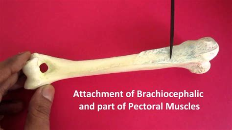 anatomy  humerus  dog  dr banga youtube