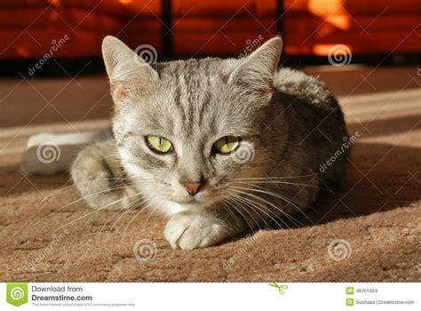 nagellack auf dem teppich graue katze die auf dem teppich liegt stockfoto bild