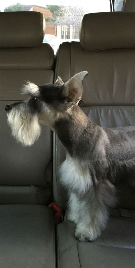 best 25 schnauzer cut ideas on pinterest schnauzer best 25 schnauzer grooming ideas on pinterest schnauzer