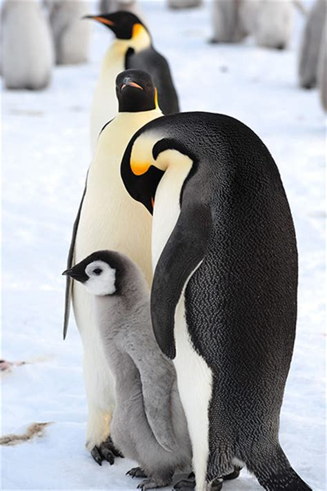 strong opinions the penguin first contact with huge antarctica emperor penguin colony
