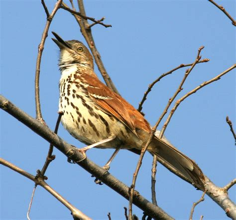 ohio bird photo collection brown thrasher quot large view quot