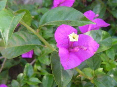 pokok bunga kertas wikipedia bahasa melayu ensiklopedia