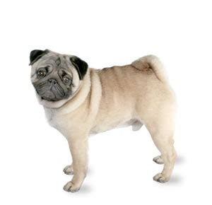 pugs and human allergies pug