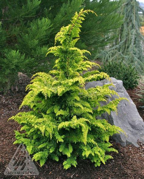 chamaecyparis obtusa fernspray gold golden hinoki cypress