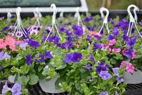 Flowers For Mother S Day Hanging Baskets Now Available Schramm Farms Amp Orchards
