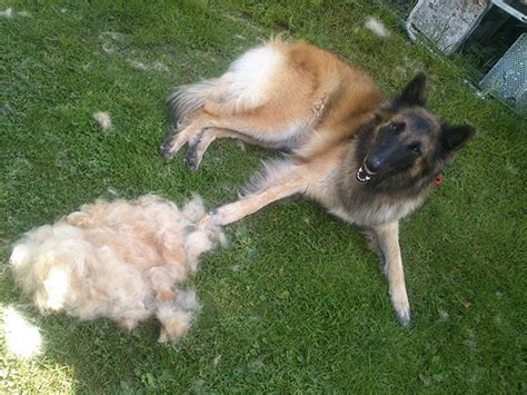 shedding a lot black cur shed a lot 28 images dogs and owners take up shed blackmouth cur breed