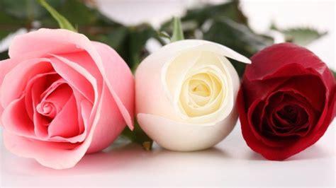 wallpaper bunga rose putih gambar bunga mawar merah putih dan pink flowers