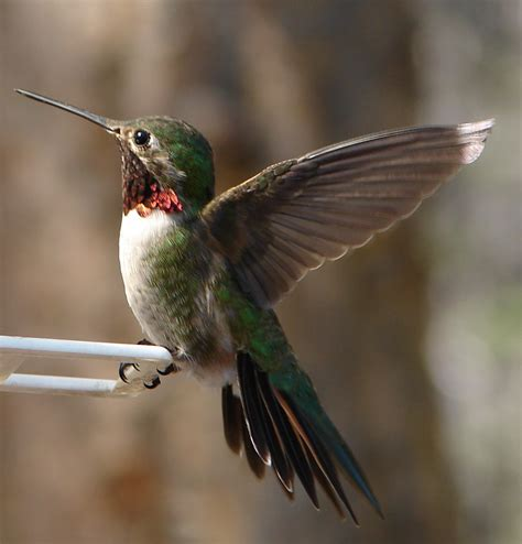file male ruby throated hummingbird 2 edit1 jpg