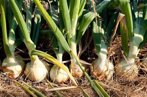 Comment Planter L Oignon by Cultiver Des Oignons Des Conseils Sur Comment Faire