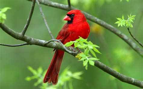 red cardinal bird symbolism whispers channels