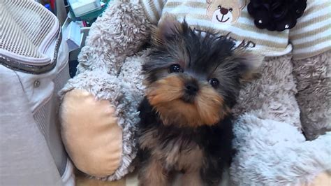 puppies that don t grow for sale micro teacup yorkie puppies for sale