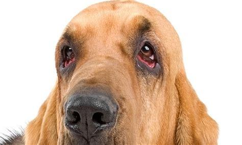 blepharitis in dogs blepharitis in dogs vca animal hospital