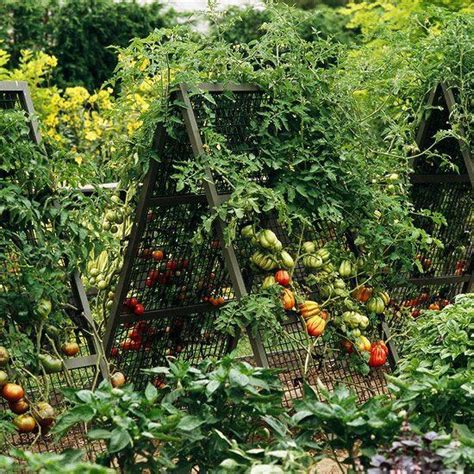 Vertical Gardening Tomatoes 1000 Images About Ways To Grow Tomatoes On