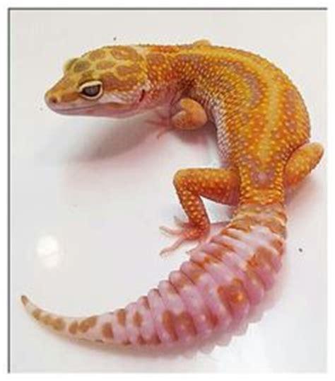 Bibit Ulat Jerman 1000 images about leopard geckos on leopard geckos geckos and reptiles