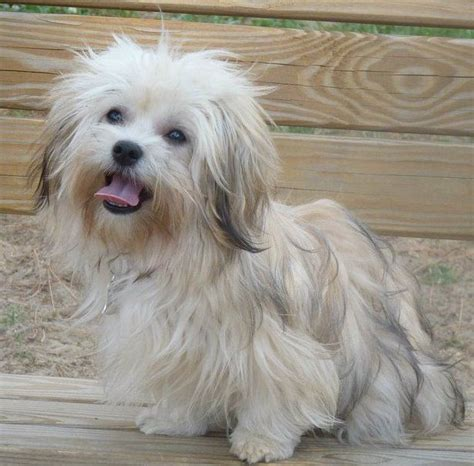 havanese therapy 292 best images about havanese dogs on