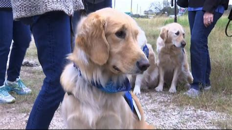 what is a comfort dog comfort dogs report for duty in texas youtube