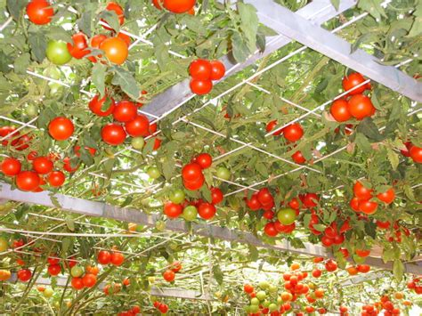tomato tree tomato italian tree 100 seeds minimum vegetable