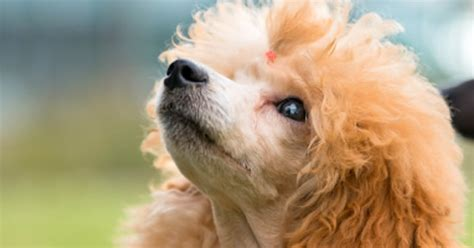all hypoallergenic dogs dogs that do not shed are these hypoallergenic dogs breeds picture