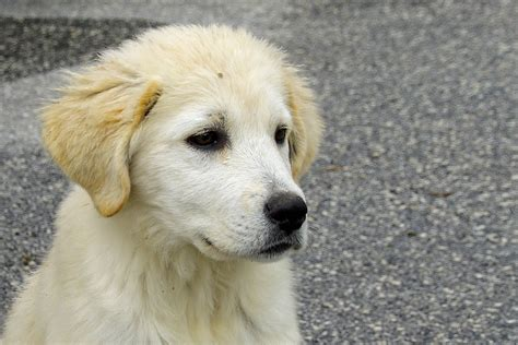 maremma golden retriever mix free images puppy pet friend nose golden retriever ears vertebrate serenity
