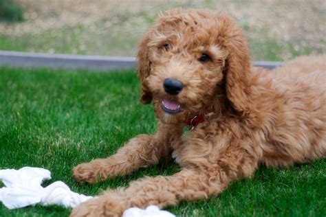golden retriever poodle mix breeders goldendoodle breed with golden retriever goldendoodle golden retriever poodle mix