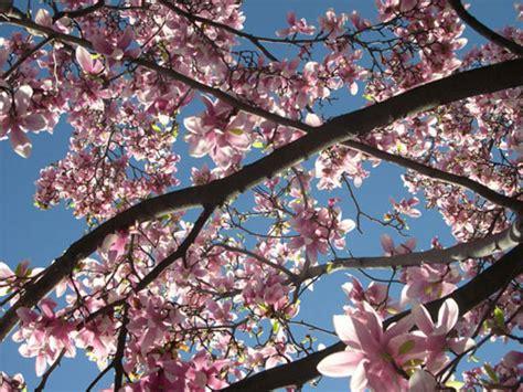 alberi fioriscono in primavera piante e fiori risveglio di primavera fiori e foglie