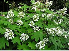 9 Frequent Hydrangea Questions Answered Oakleaf Hydrangea Winter