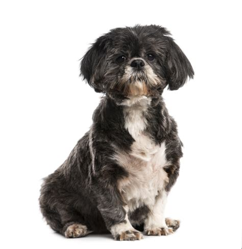 shih tzu spine problems shih tzu spine health