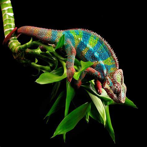 chameleon change color scientists just found out how chameleons change color time