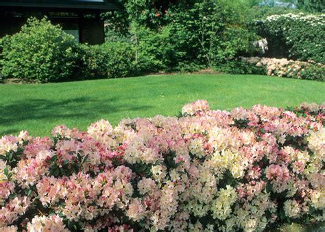 rhododendron hecke bild rhododendron hecke seite 3408 13246 familienheim