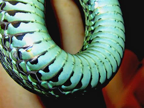 Garter Snake Belly Blue Belly By Pitbulllady On Deviantart