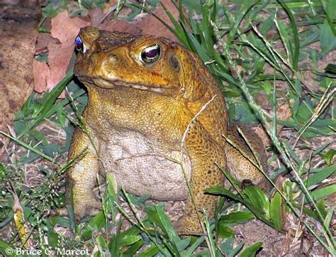 how to get rid of cane toads in backyard how to get rid of cane toads in backyard how to get rid