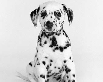 spotted puppies white spotted etsy