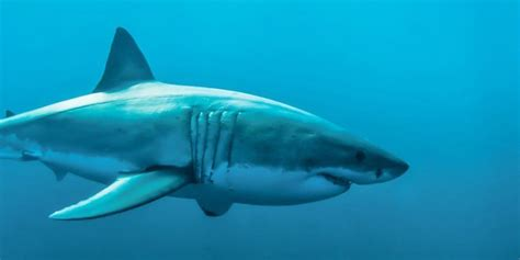 great white shark dive great white shark diving locations dive worldwide