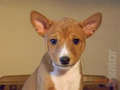 basenji puppies price sold basenji puppies from kennel nzuri basenji buy on www bizator