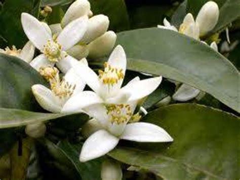 fiore di zagara foto profumo di zagara dall album foto profilo di
