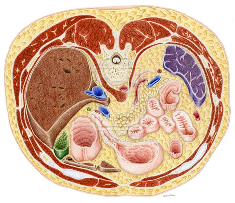 Cross Section Of Stomach by Mri Cross Sectional Anatomy Images