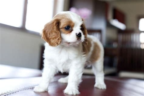 shih tzu barks much how much are shih tzu puppies breeds picture
