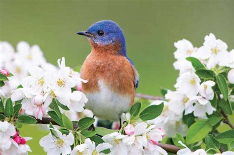 Attract Bluebirds Your Backyard by How To Attract Bluebirds Attracting Birds Birds Blooms