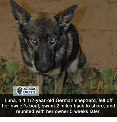 German Shepherd Memes - 25 best memes about german shepherd german shepherd memes