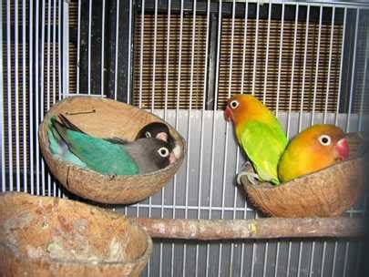 Wp Lovebird Bertelur Breding Obat Burung membuat tempat sarang burung dari pipa pvc batang palem kardus dan tempurung kelapa klub burung