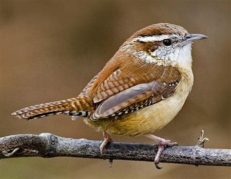 carolina wren big dog s bird blog