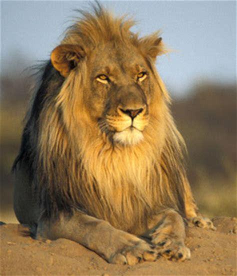 imagenes de leones viejos sistema de atraccion macho alfa caracteristicas
