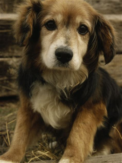 golden retriever and beagle mix golden retriever beagle mix we how to do it