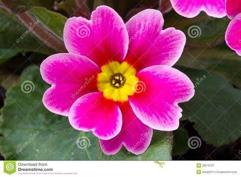 primula fiore fiore della primula immagine stock immagine di copia
