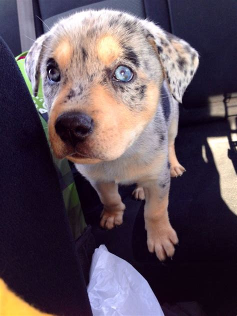 blue heeler lab mix puppies for sale 17 best ideas about husky lab mixes on lab mix puppies labrador mix and