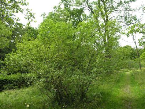 botanischer garten münchen leaf willow 213169 common name salix