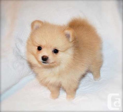 pomeranian breeders montreal pomeranian puppies ready for sale going fast for sale in montreal classifieds